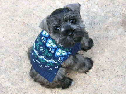 Sweet Schnauzer Baby Schnauzer Puppy Schnauzer Miniature Schnauzer Puppies