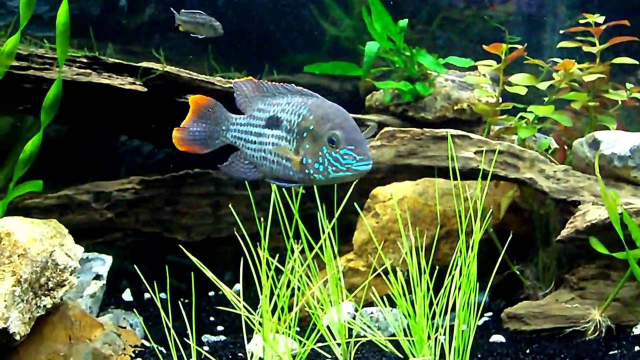 Update Central American South American Cichlid Tank American Cichlid Cichlids Animals