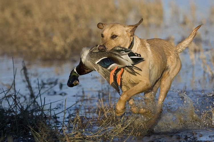 Duck Hunting Foolproof System To Keep Your Dog Happy Hunting Wallpaper Dog Biting Training Duck Hunting Duck hunting wallpaper for iphone