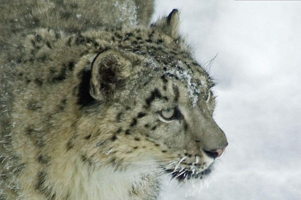Snow leopard, Ähtäri Zoo in Finland