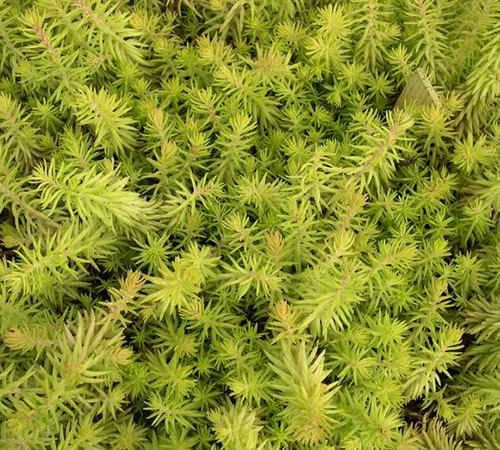 Low Growing Ground Cover: Chartreuse, Spiky, Drought Tolerant