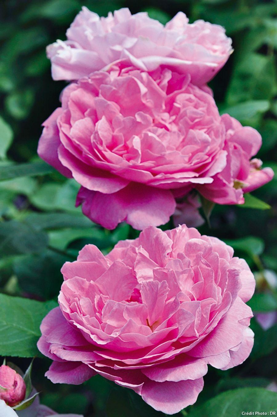 Planter un rosier anglais la marche à suivre Rosier