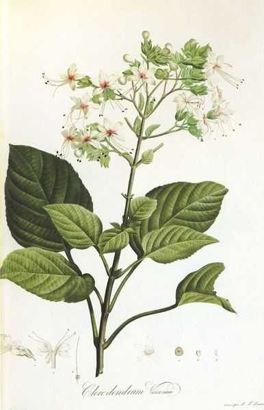A History of Botanical Art - Resources for Botanical Art Lovers
