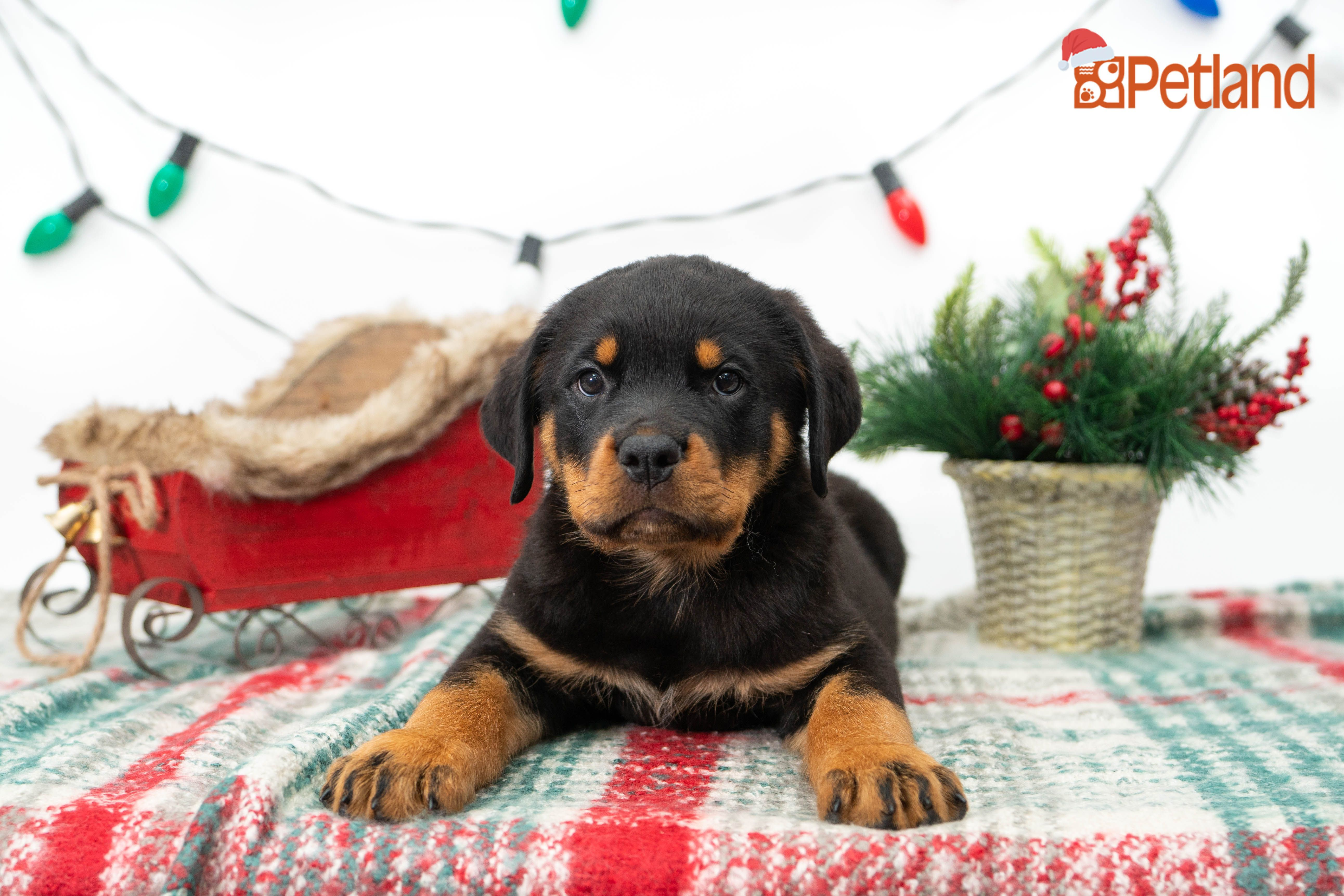 Puppies For Sale (With images) Rottweiler puppies for