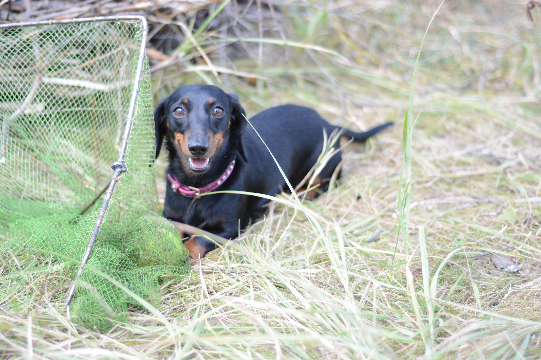 marine dachshund Dogs, Dachshund, Animals