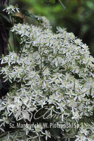 Pin On Botanical Clematis
