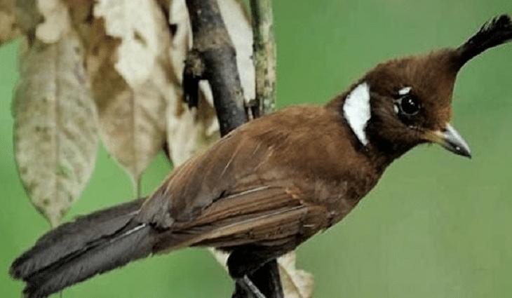 Ud Jalak Suren Klaten Burung Gambar Burung Hewan