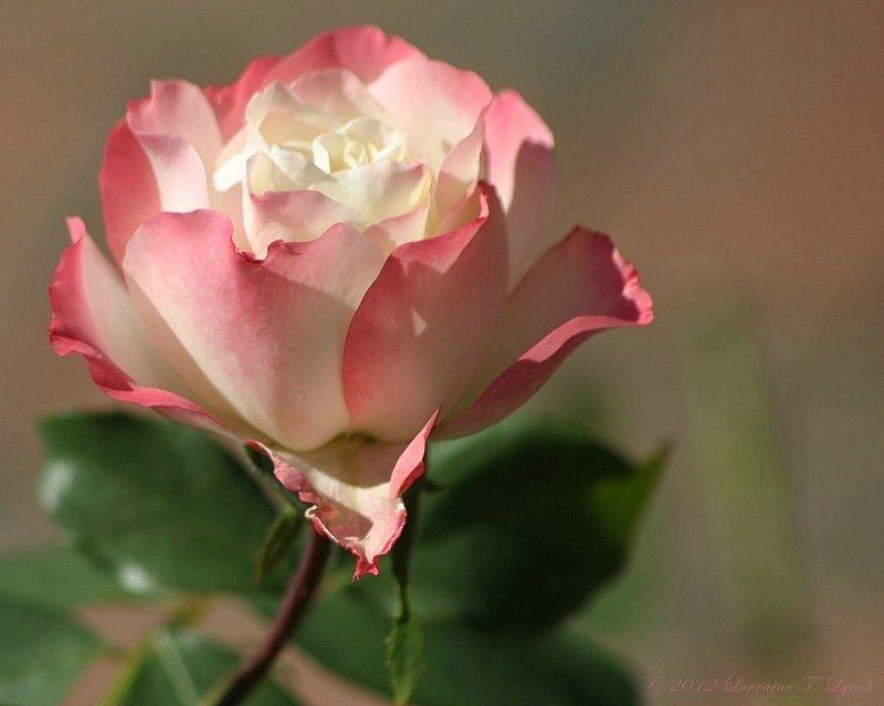 Resultado de imagem para red rose photography