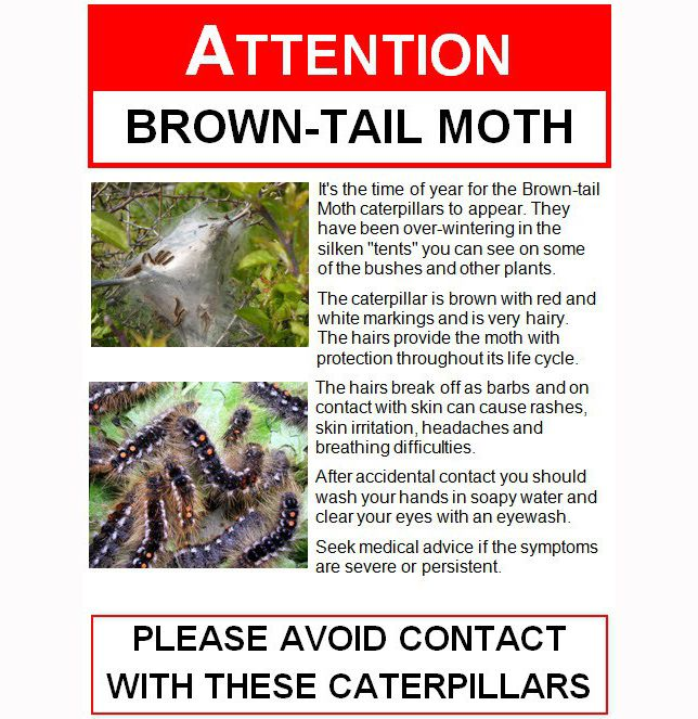 Brown Tail Moth Moths Red White
