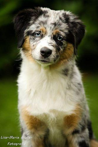 16 Wochen 4 Australian Shepherd Aussie Dogs Dogs