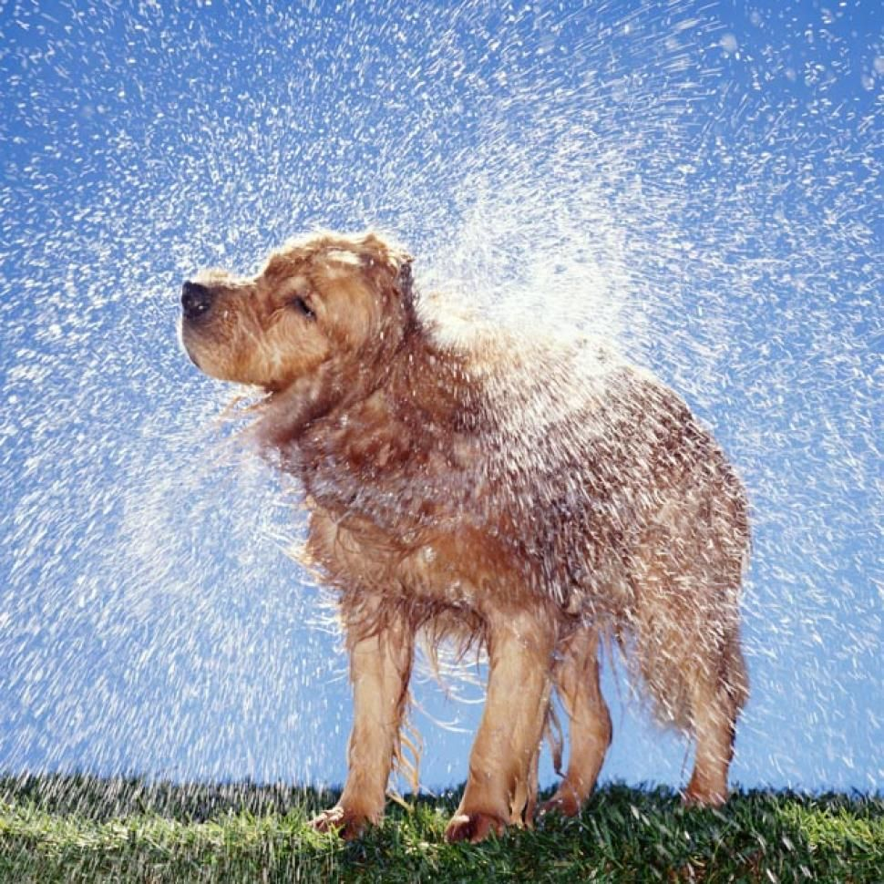 Secrets Of The Wet Dog Shake May Some Day Lead To Self Drying