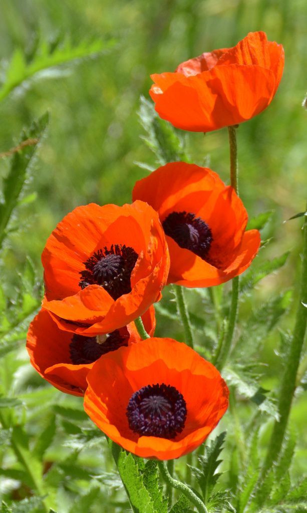 Oriental poppy oriental flowers and gardens flowers garden mightylinksfo