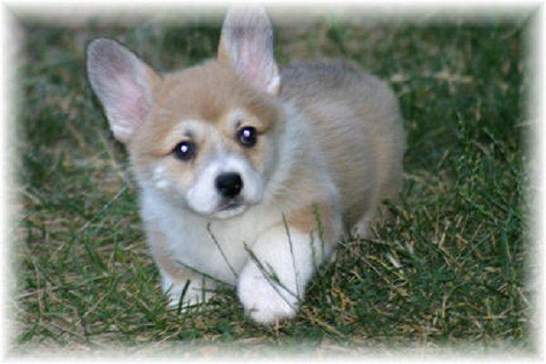 Corgi Puppies For Sale In Ohio Zoe Fans Blog Puppies Corgi