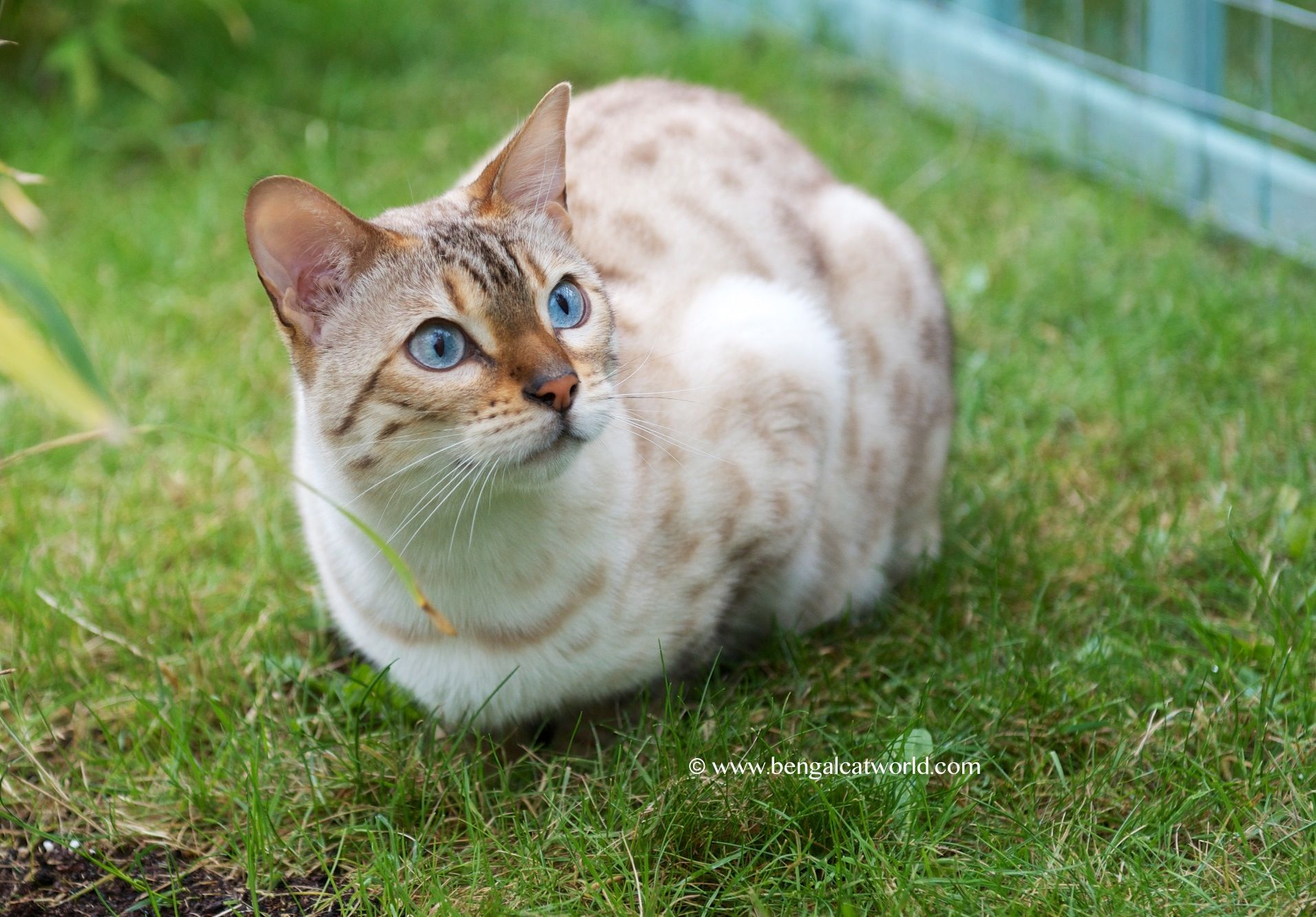 Seal Lynx Point bengal | Cat Facts | Pinterest | Bengal, Lynx and Cat