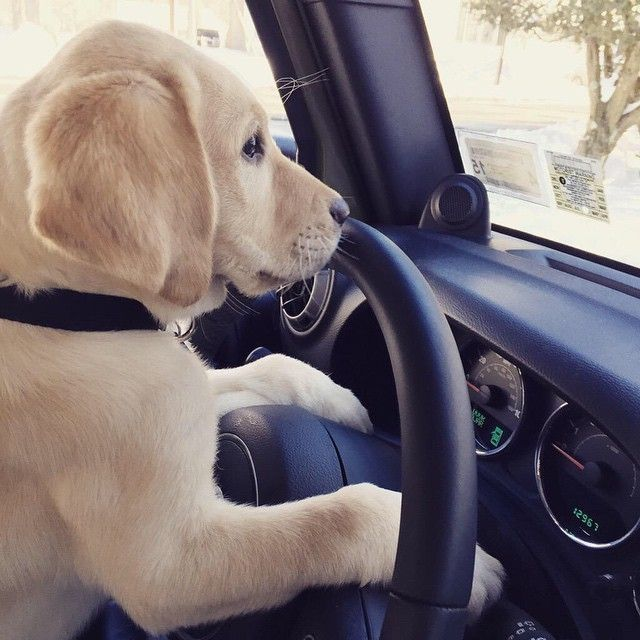 Beep Beep Throwback Thursday Puppy Driving Lesson Todayshow