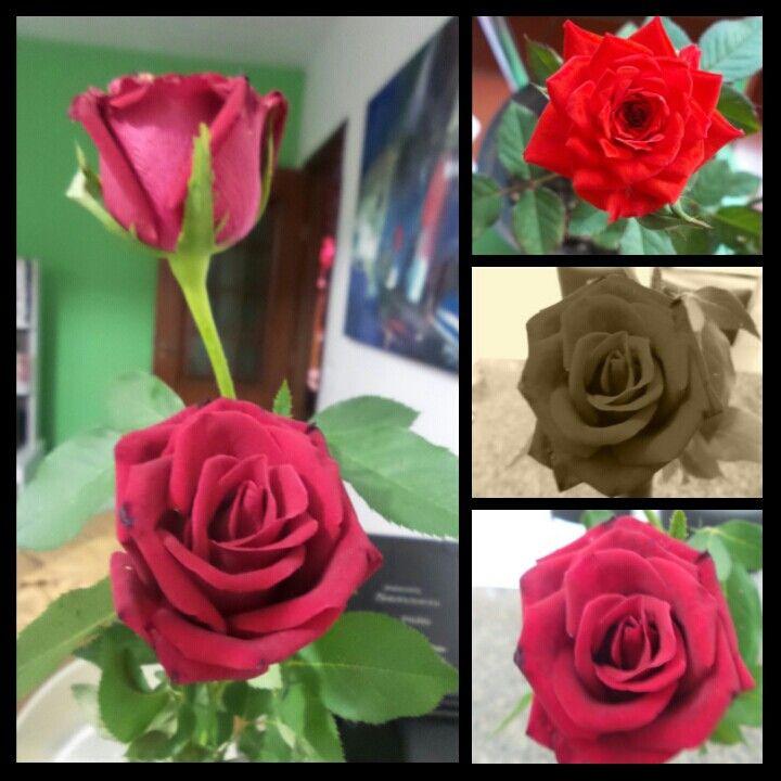 Rosas pra alegrar a casa