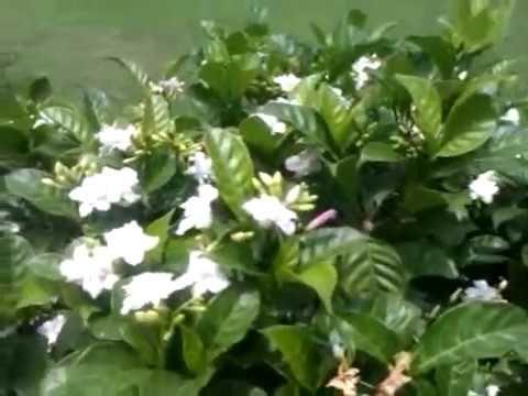 How To Grow And Get More Flowers On Tabernaemontana Crape Jasmine Chandni Tree Youtube Jasmine Tree Planting Flowers Growing