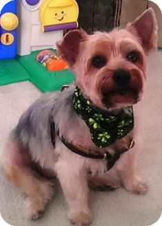 Clearwater Fl Yorkie Yorkshire Terrier Meet Timmy A Dog For