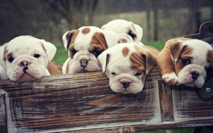Download Wallpapers 4k English Bulldog Puppies Cute Animals