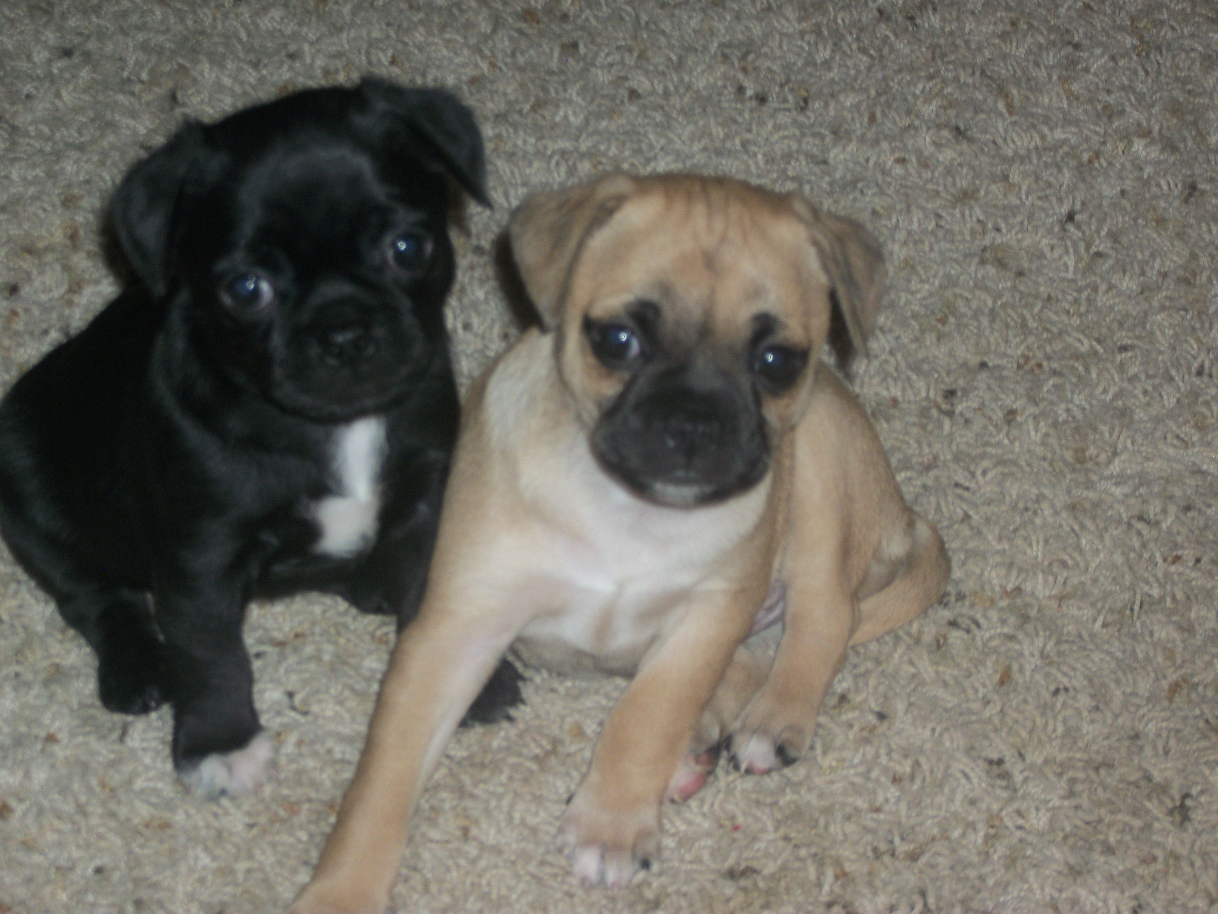 Chug Puppies Brother And Sister Chihuahua Pug Mix Cute Baby