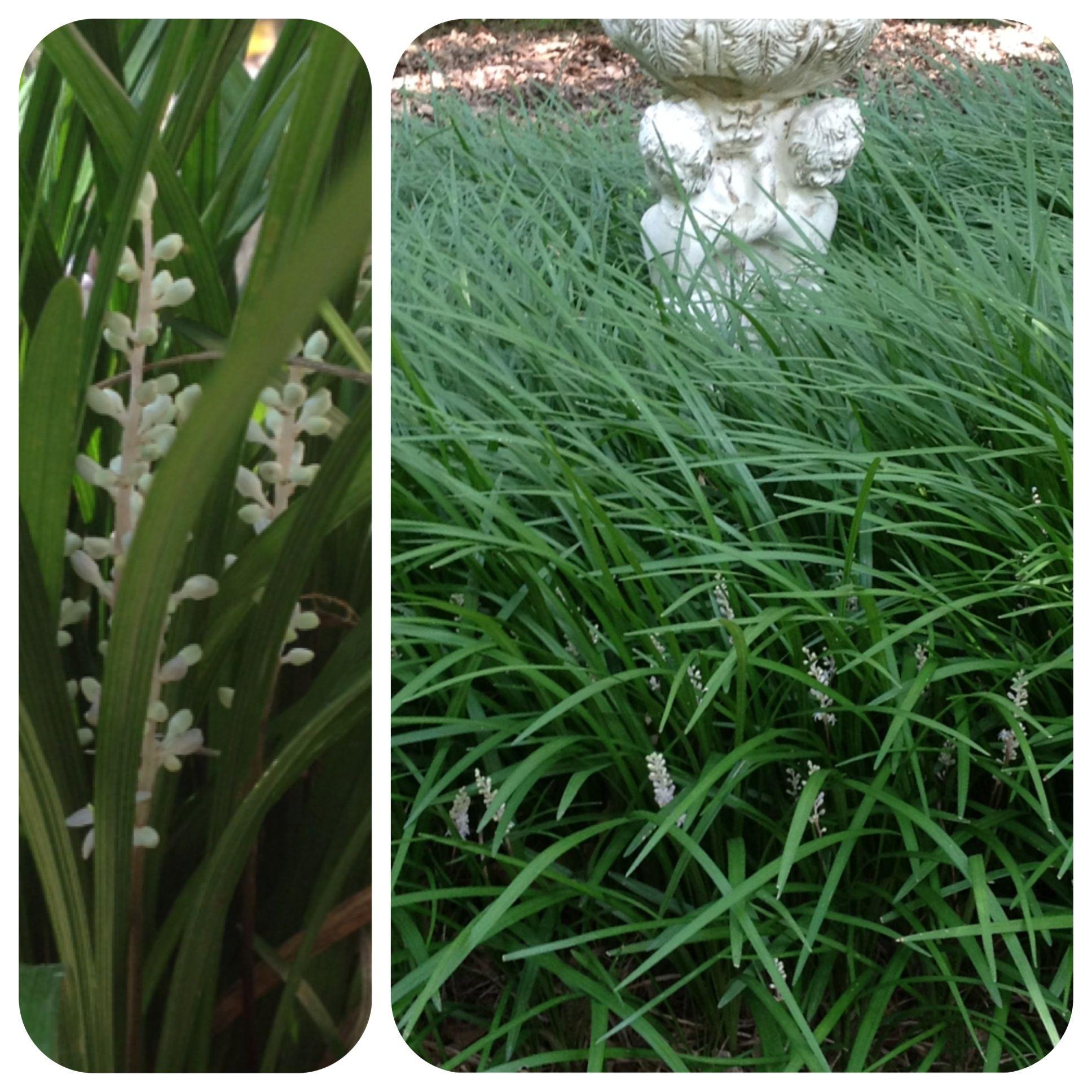 Monroe White Lilyturf (Liriope) in Mic\'s Garden | In the Garden ...