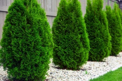 Arborvitae Plant Varieties Getting To Know Different Types Of Arborvitae In 2020 Thuja Green Giant Shrubs For Privacy Growing Shrubs