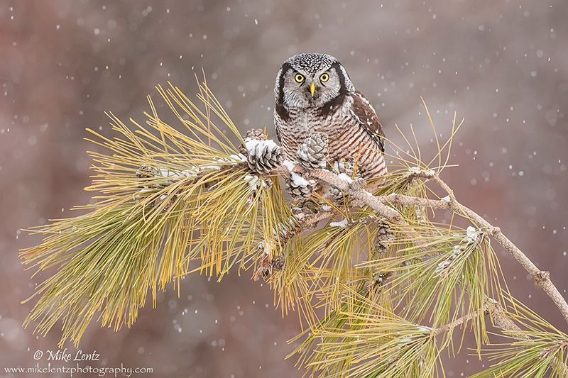 Northern Hawk Owl on pines | by Mike Lentz Photography