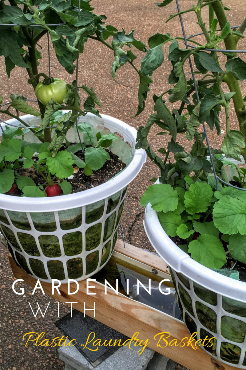 Using Inexpensive Laundry Baskets To Garden In Is A Great