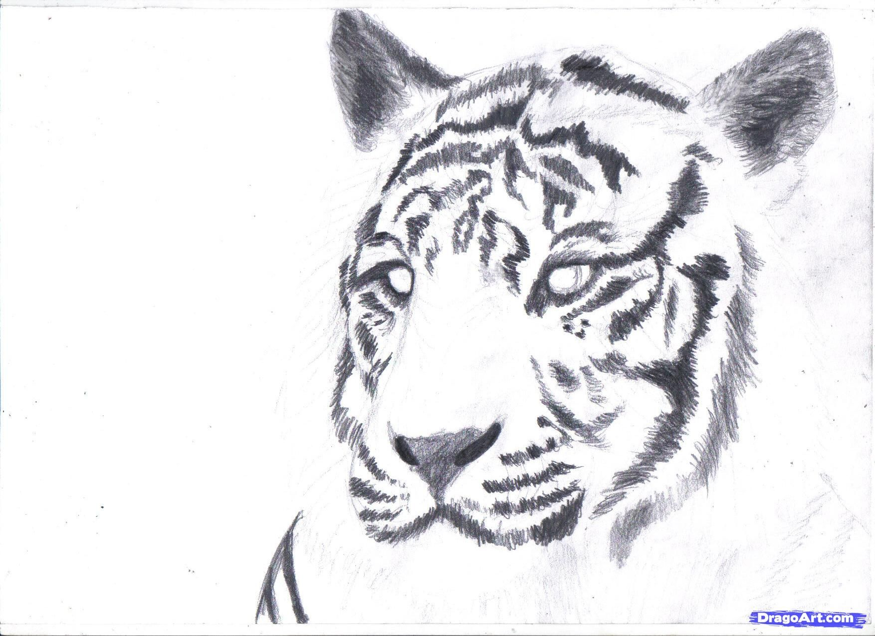 how to draw a white tiger, draw a tiger in pencil step 7 ...
