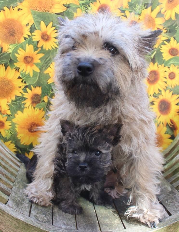 Cairn Terrier Mommy And Pup Cairn Terrier Puppies Cairn Terrier