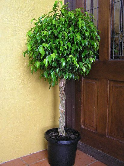 Trees For House Plants. Weeping Figs Ficus Benjamina Are Some Of The Most Common Indoor Trees Typically Growing Between Four And