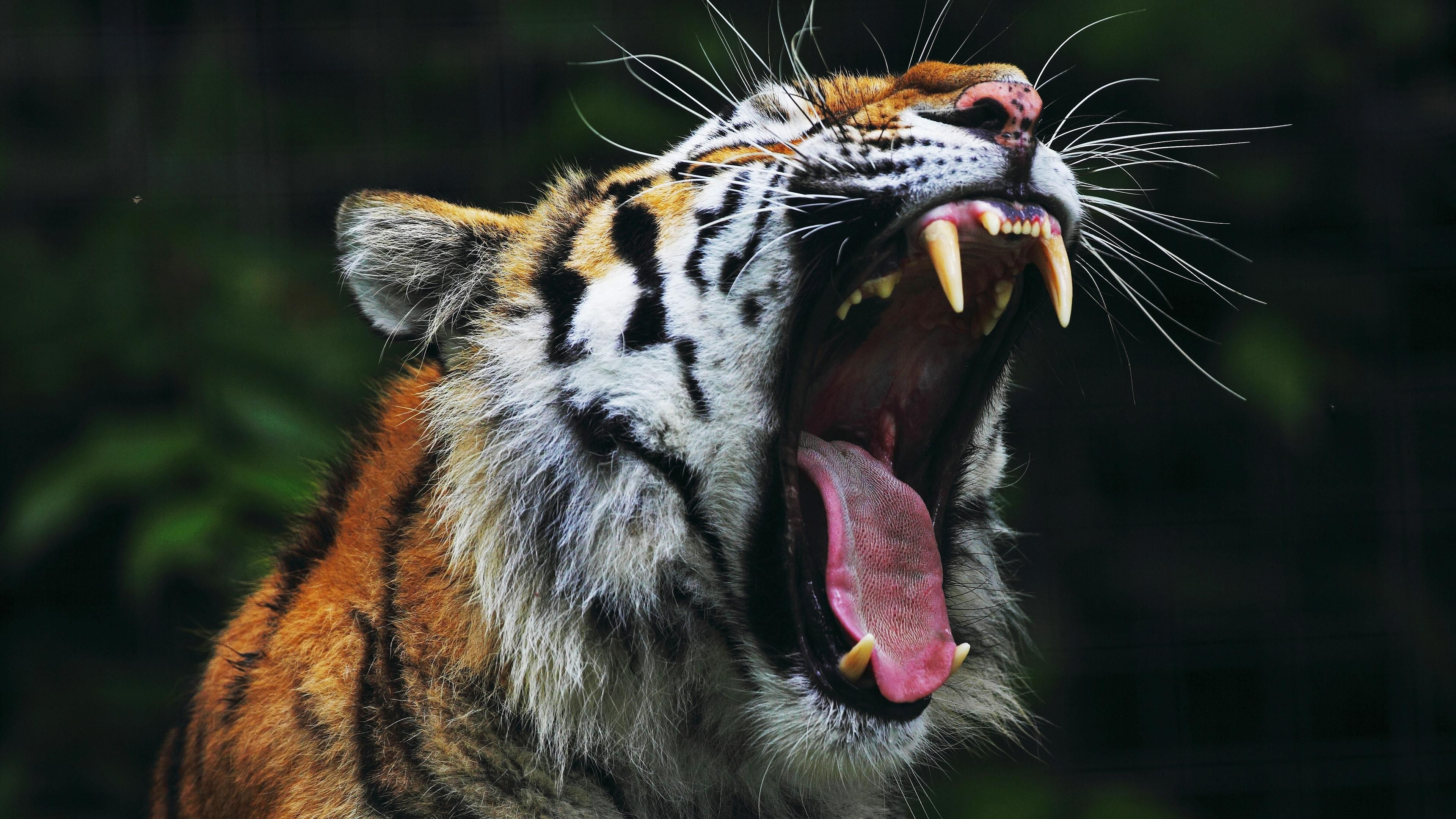 Buy Roar Tiger side view pictures picture trends