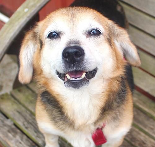 6 24 16 Meet Toni An Adoptable Beagle Looking For A Forever Home
