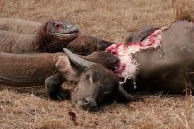 image of komodo dragons eating a water buffalo komodo dragon