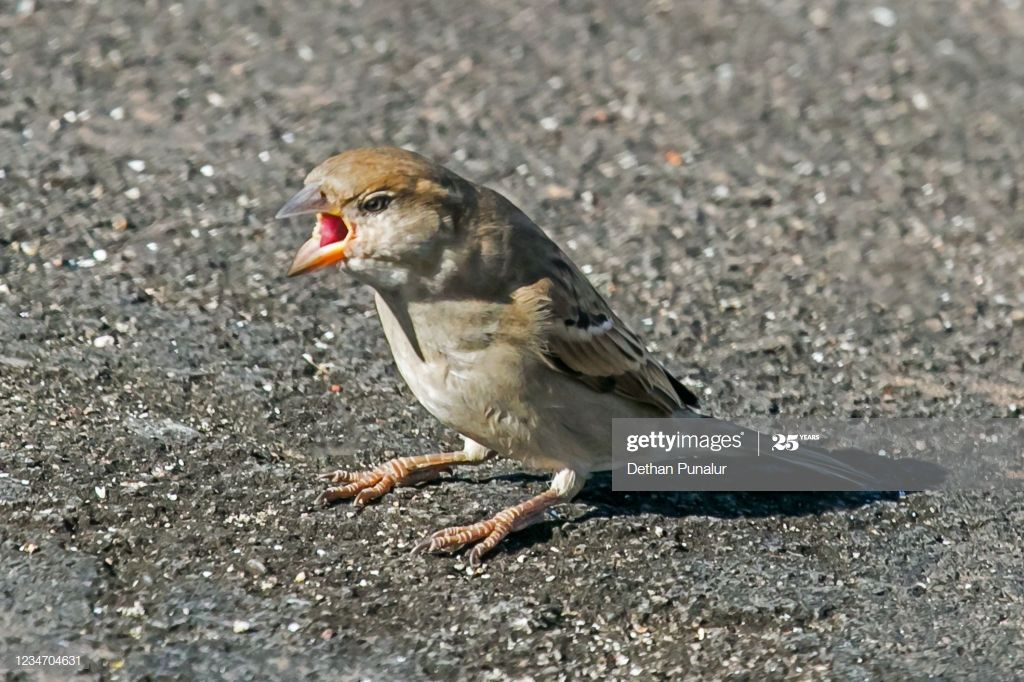 A Young House Sparrow Is Open Its Mouth And Making Some Sound T In 2020 House Sparrow Young House Open House