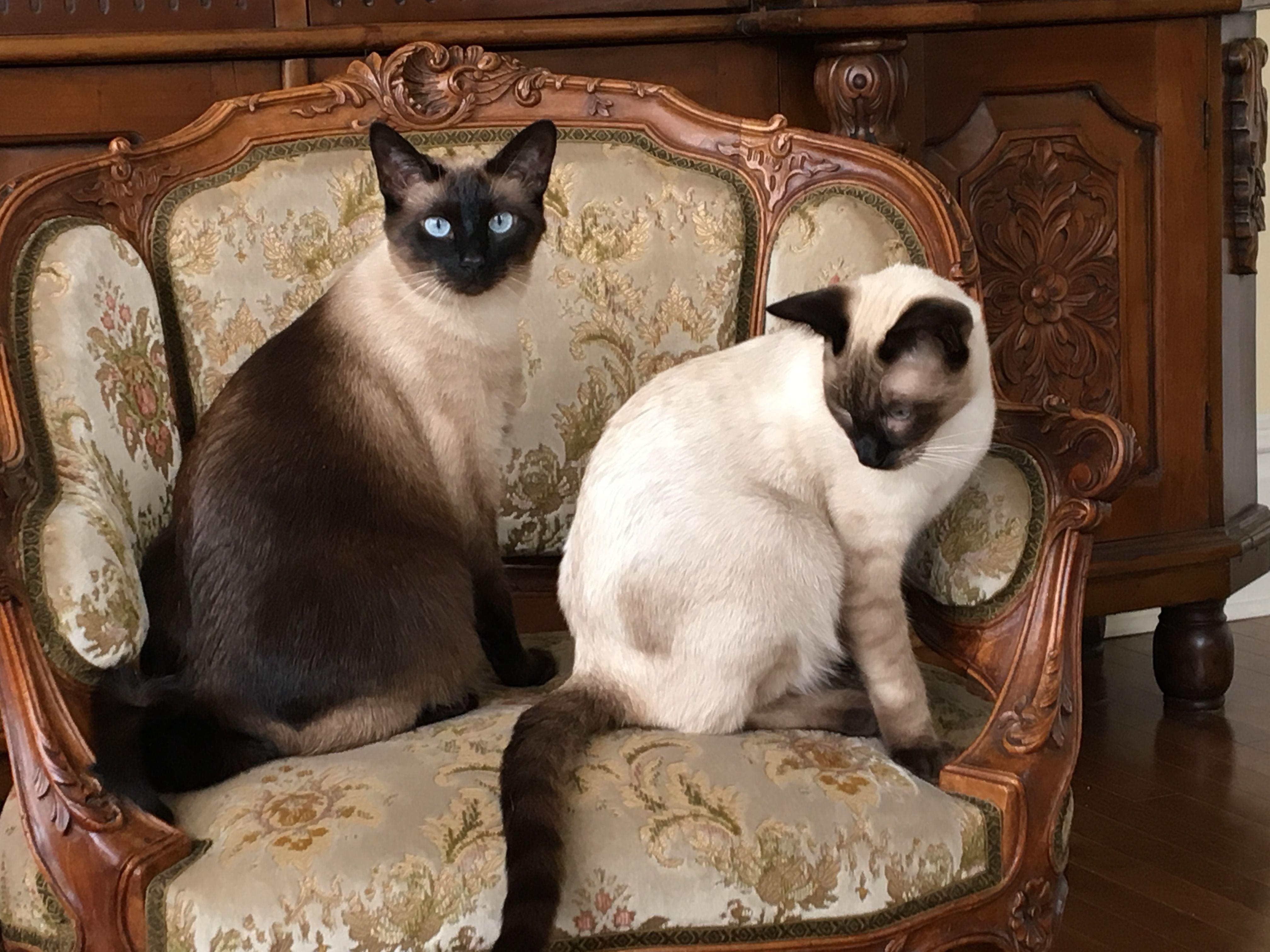 Versace Valentino Both Beautiful Siamese Siamese Cats Cats
