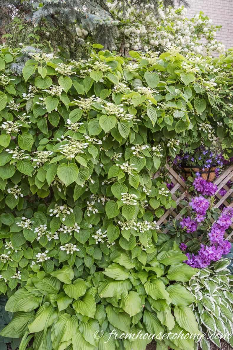 9 Of The Best Flowering Vines For Shade Garden And Backyard