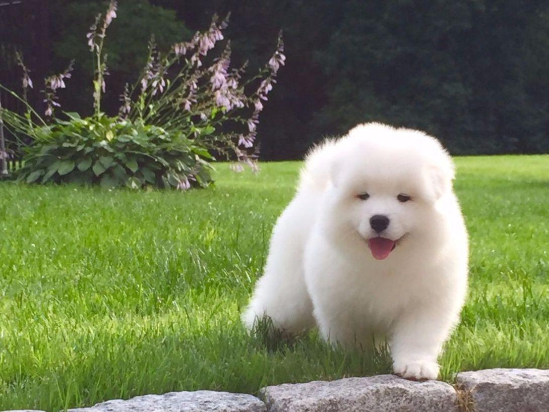 White Magic Samoyeds Has Puppies For Sale On Akc Puppyfinder