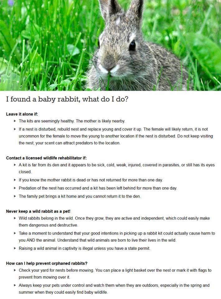 I Found A Baby Rabbit What Do I Do Babyrabbit Wildrabbit Born Wild Stay Wild I Am Not A Pet Or Wild Baby Rabbits Wildlife Rehabilitation Injured Wildlife