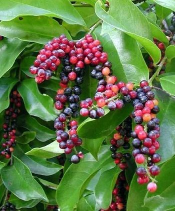 Bignay Philippine Fruit Buah Pohon Buah Sayuran