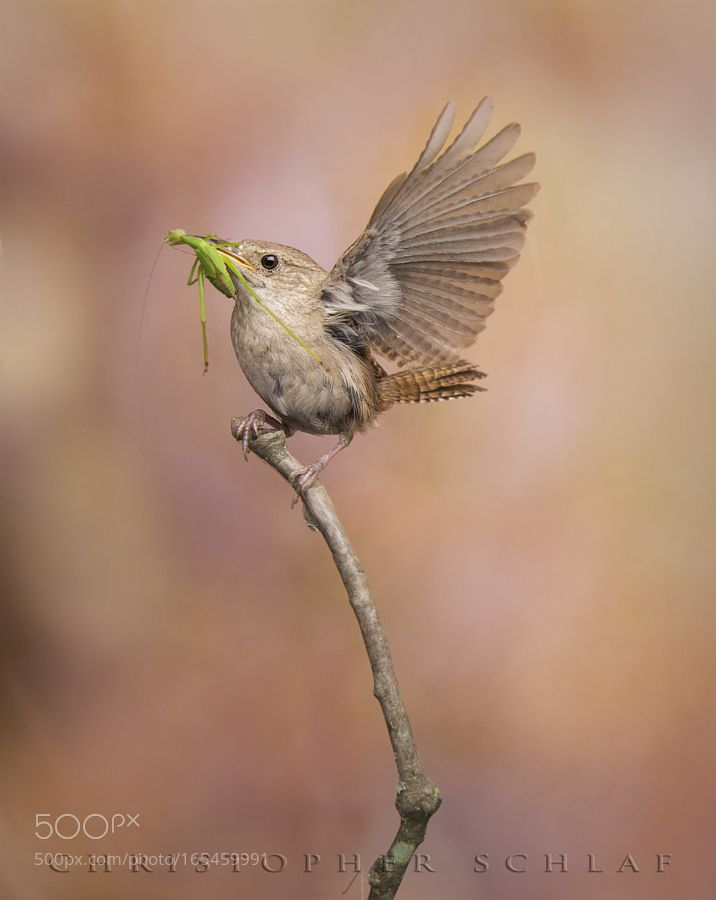 HOUSE WREN WITH A BITE TO EAT by Christopher-Schlaf via http://ift.tt/2aQWX8y