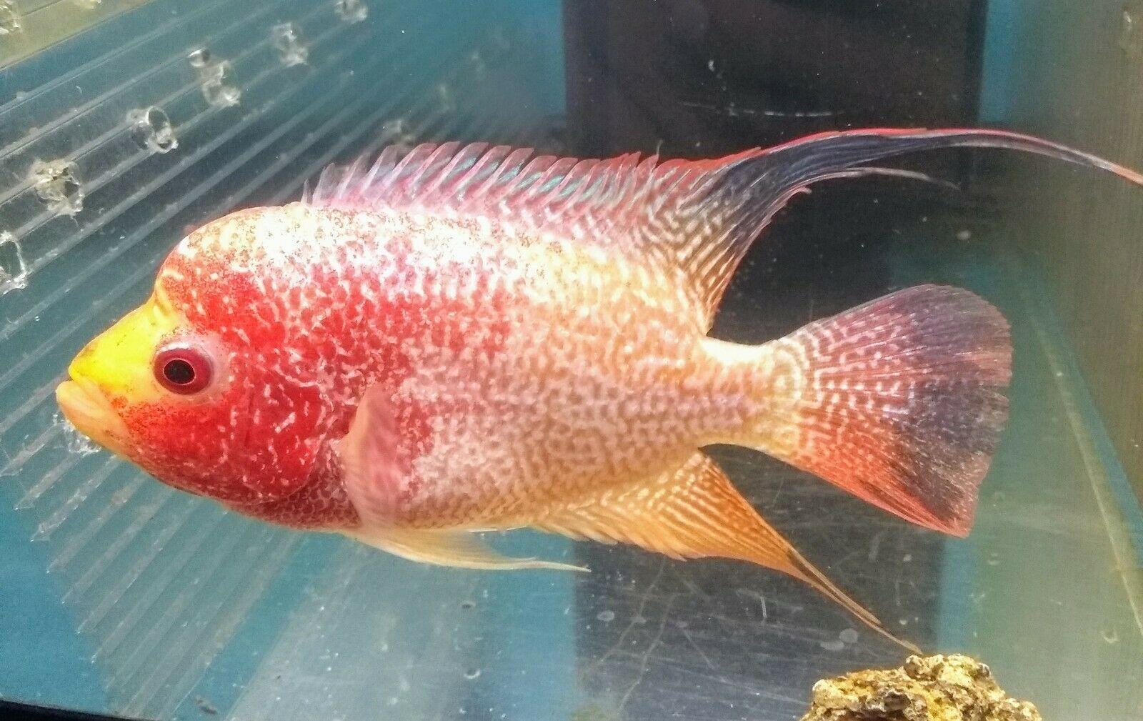 Flowerhorn GB Kamfa Fish for sale