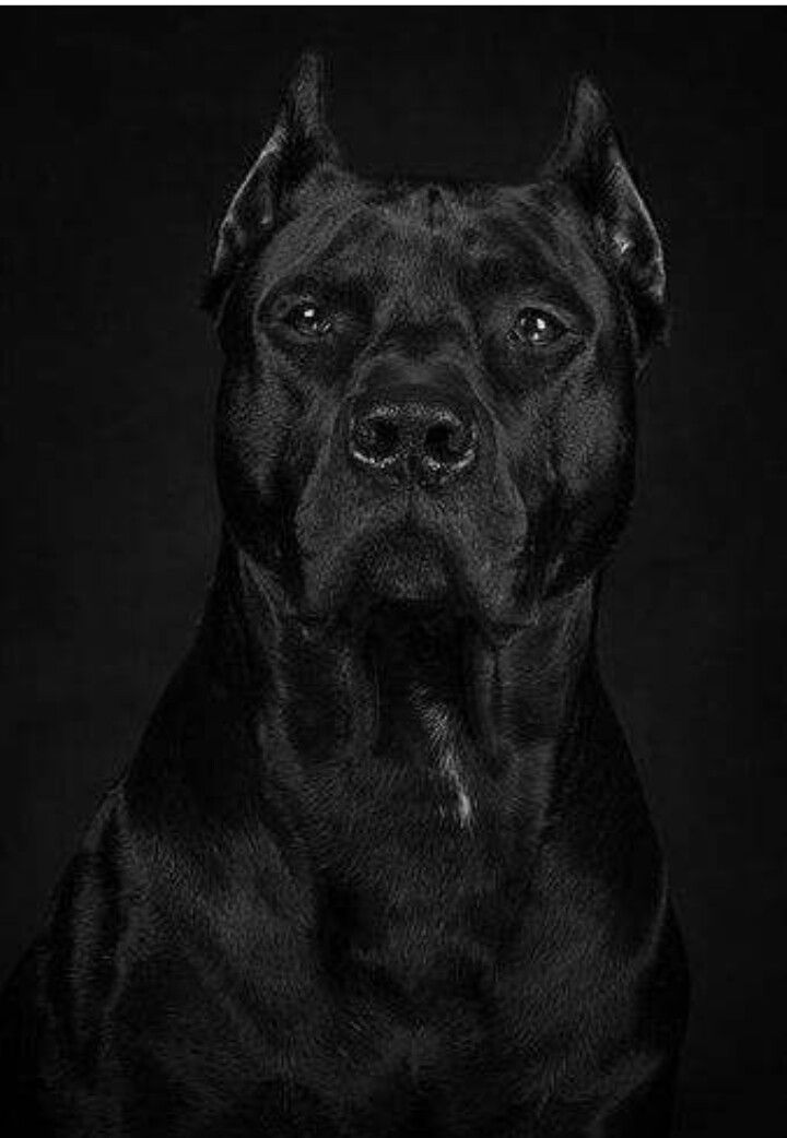 Midnight Black Pitbull : midnight, black, pitbull, Corso...#midnight#black, Mastiff, Breeds,, Beautiful, Dogs,