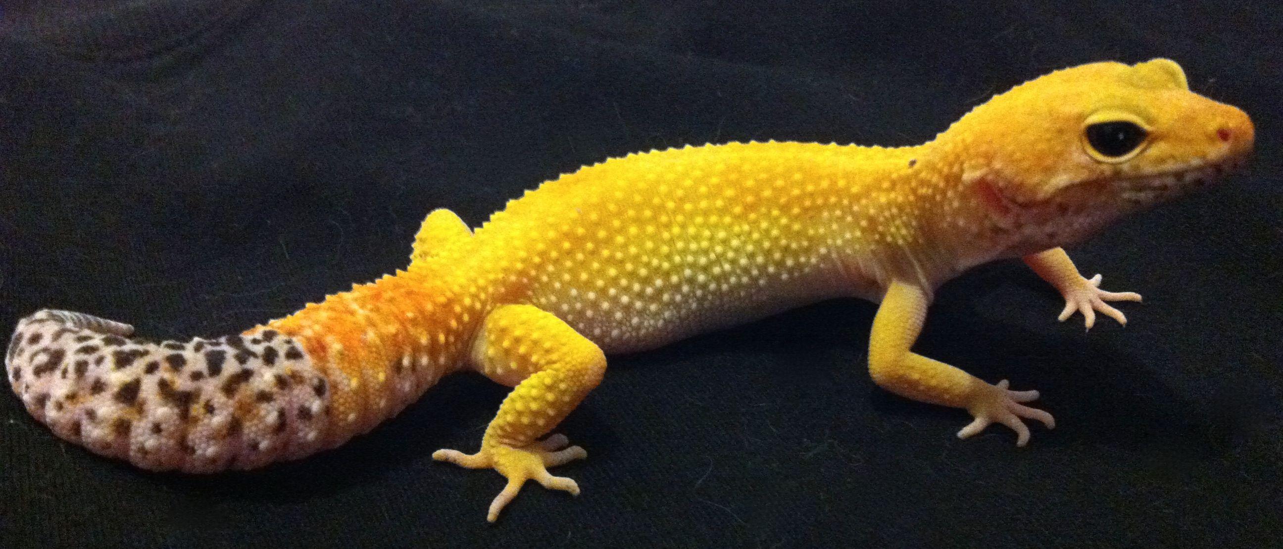 Pictures photos and description of leopard gecko morphs