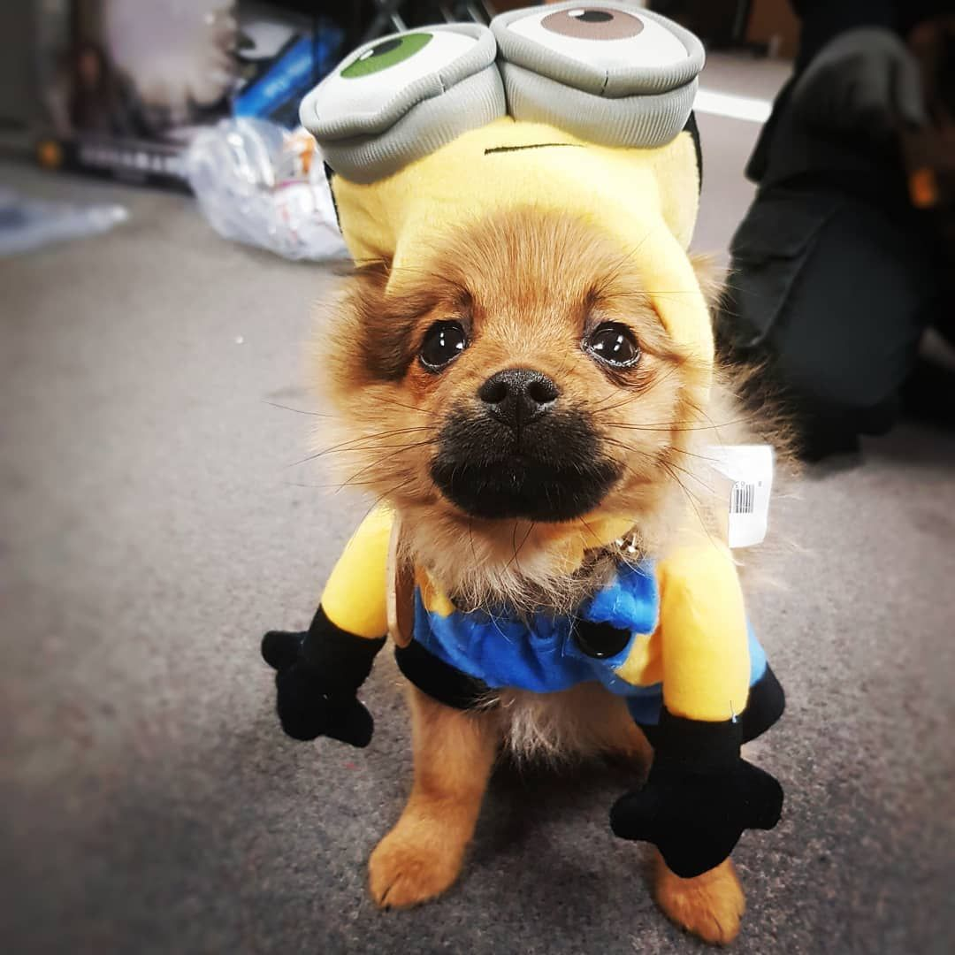 Chewie The Cute Puppy Pomeranian In Minion Fancy Dress Costume