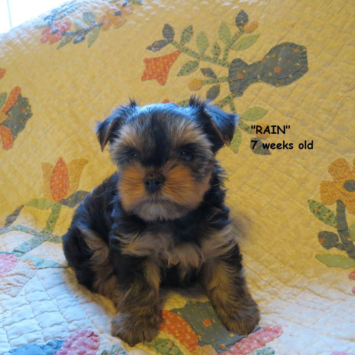 7 week old yorkie puppy ballard acres yorkies pinterest 7 week old yorkie puppy nvjuhfo Image collections