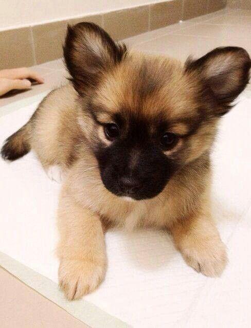 Baby German Shepard Cute Fluffy Puppies Cute Animals Puppies
