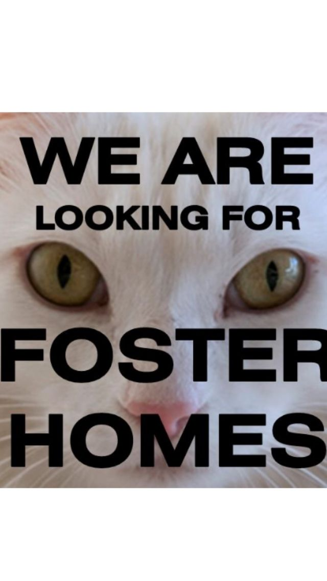 Sf Bay Area We Need Foster Homes For Our Cats And Kittens 6 Weeks Requested Please Contact Us If You Can Help Www Mainecoonadoptio The Fosters Cat Rescue