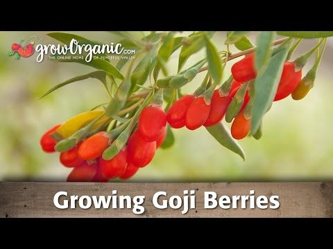 Pruning Goji Wolf Berry Plants Alberta Urban Garden Youtube