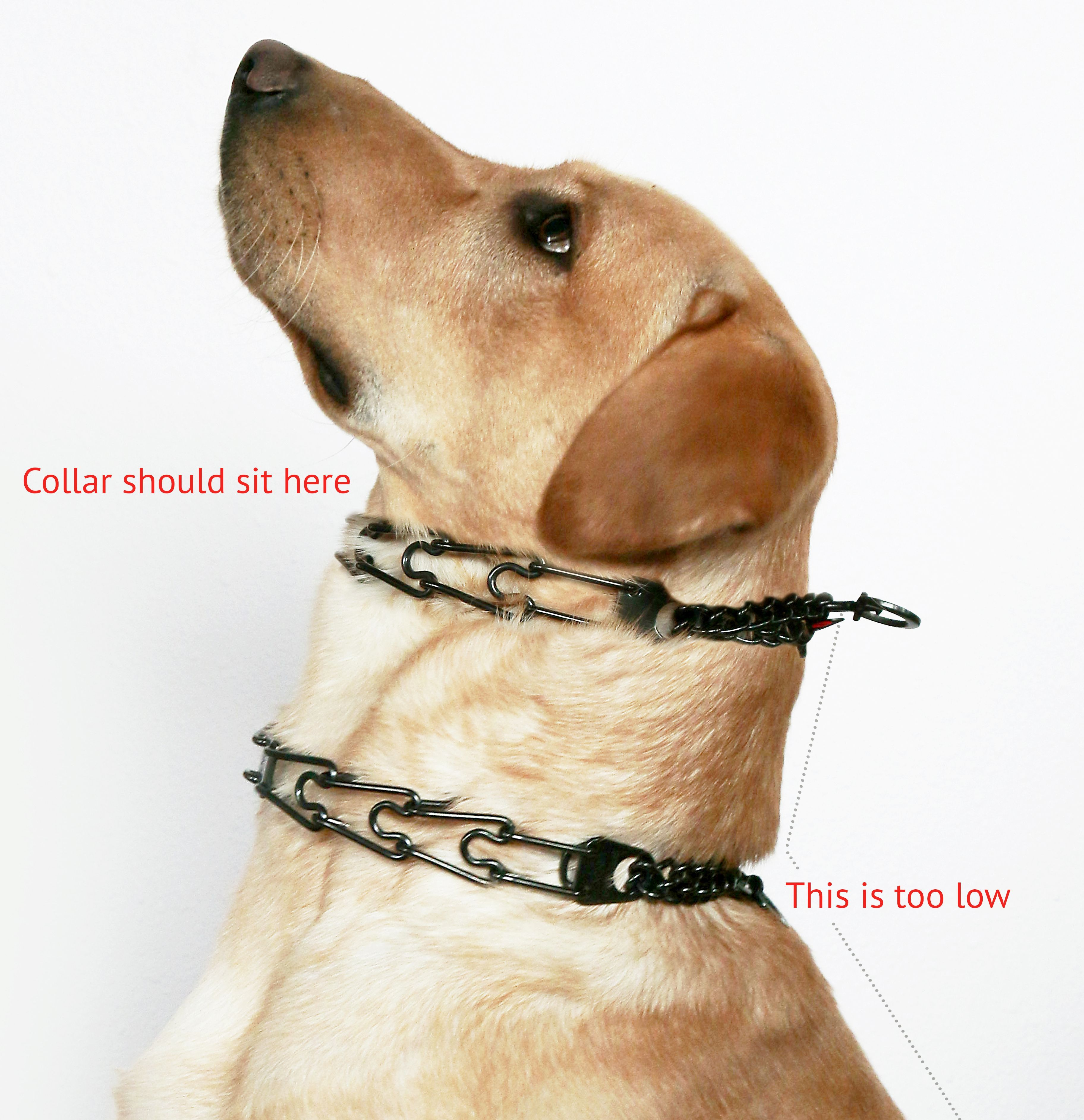 Leerburg Dog Training How To Fit A Prong Collar Dog Training